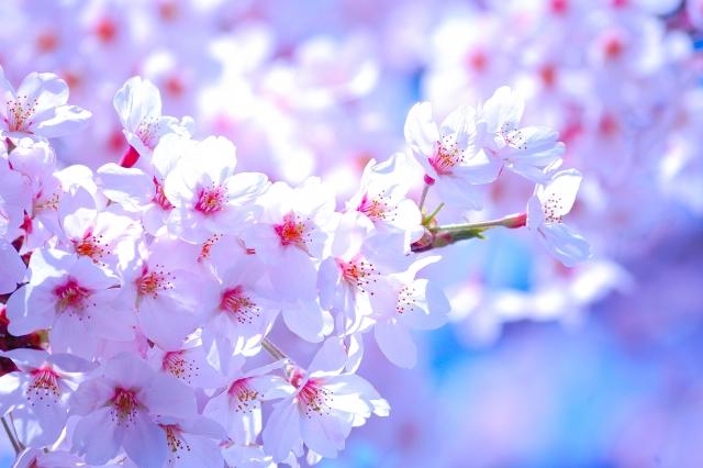 桜のソメイヨシノの花言葉や名前の意味や由来は?