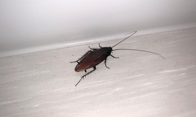 ゴキブリの鳴き声は「キュッ」だって知ってた?